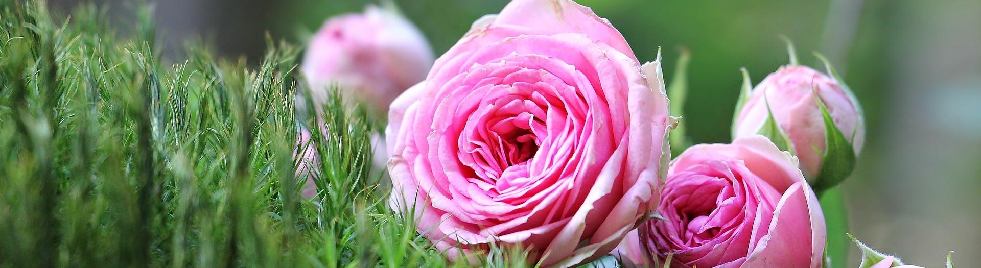 Kaunista oma koduaeda Põltsamaa Roosiaias kasvatatud roosidega