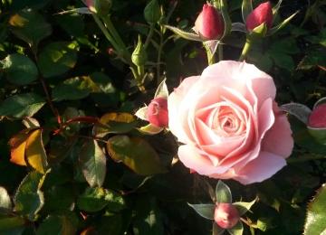 Kaunist ja roosilist sügist!