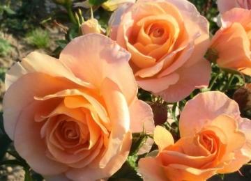 Lähiaja roosimüügi kohad