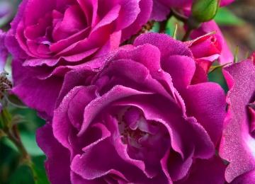 E-poest tellitud rooside väljastamine
