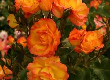 Sel nädalavahetusel rooside soodusmüük!