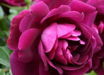 Roosidega Haapsalu lillepäevale ja Sõmeru Maaelu festivalile