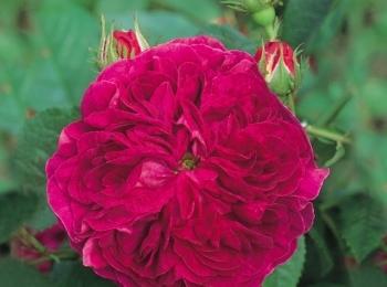 Tutvustame uusi sorte Põltsamaa roosiaia 2018 müüginimekirjas!