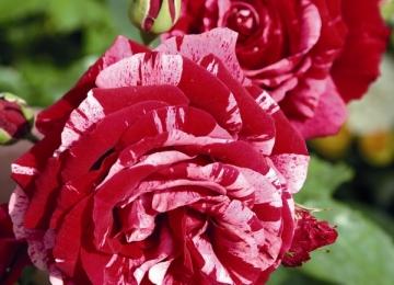 Põltsamaa roosid Võrus