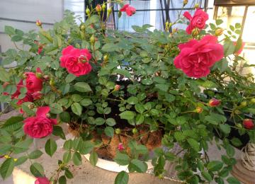 ...ja käes on rooside õitsemise aeg