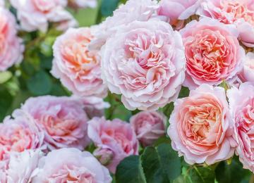 Nüüd ka inglise rooside tellimine kevadeks 2022 avatud