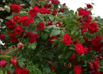 Info lähiaja roosimüügi kohtadest