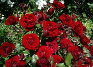 E-poest ostetud rooside väljastamine