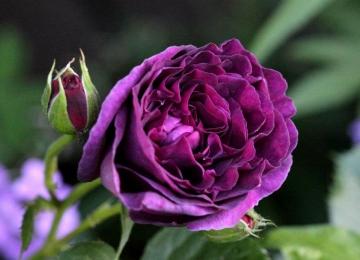 Suur roosilaat Põltsamaa roosiaias