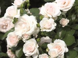 Aspirin-Rose, GC Bod  ADR