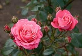 Bella Rosa, F