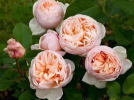 Belle Romantica/Alexandrine, HT Romantica