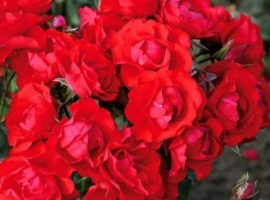 Black Forest Rose, F  ADR