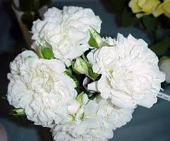 Blanc Meillandecor, S(Bod)
