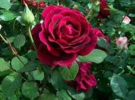 Crimson Glory, LCI