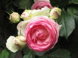 Eden Rose '85, S (CLI)