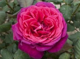 J. Wolfgang von Goethe Rose, HT