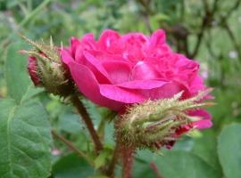 Mme de la Roche Lambert, Moss