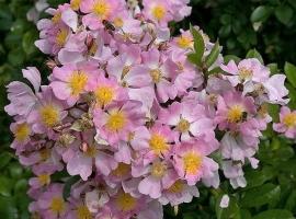 Multiflora Adenocheata, CLI