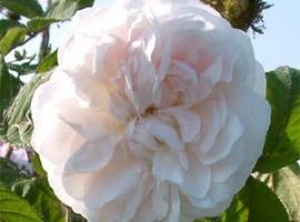 Muskosa Alba /Shailer´s White Moss, Moss