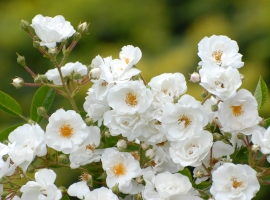 Paragon, Multiflora