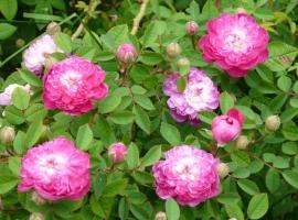 Parvifolia-burgundia roos, C