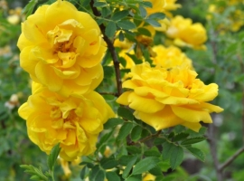 Persian Yellow, LutH