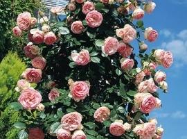 Pierre de Ronsard= Eden Rose, CLI