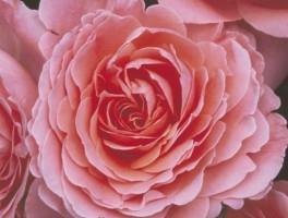 Pink Abundance, F  UUS!
