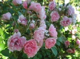 Pink Grootendorst, HRg