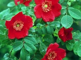 Rosa moyesii, Wild