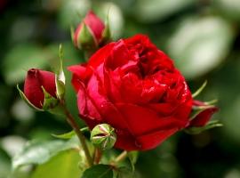 Red Eden Rose CLI