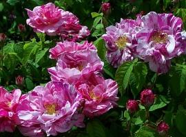 Rosa Mundi=versicolor, G