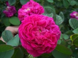 Rose de Rescht, D