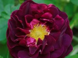 Tuscany / Old Velvet Rose, G